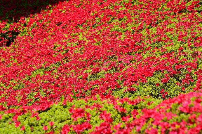 青葉の渓谷の流れに紅色を映し出す映山紅。それこそが紅花!