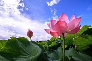 心洗われる美しさ── 蓮の花を観に行こう♪~東日本編~〈レジャー特集|2018〉