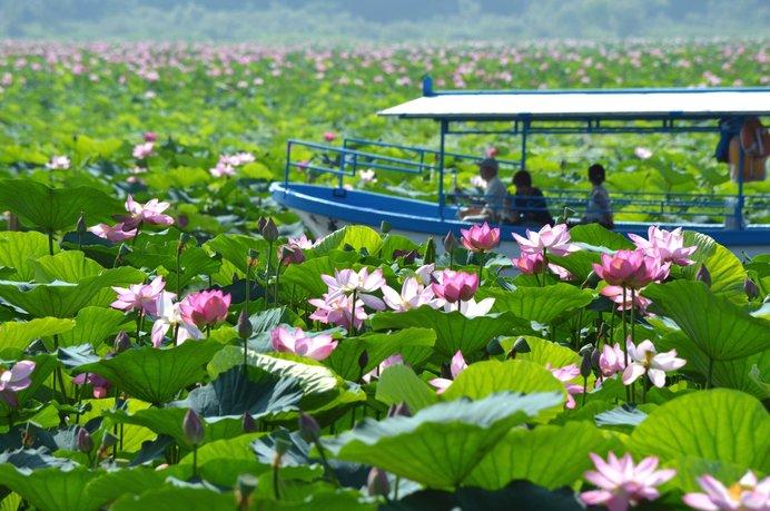 伊豆沼・内沼でぜひ体験したいのが、蓮の花の中を進む遊覧船♪