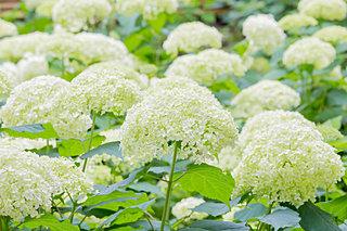 季節の花、紫陽花(アジサイ)事情!こんな種類をご存知でしたか?