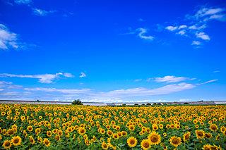 暑い夏に咲く、向日葵の花言葉も熱かった!?