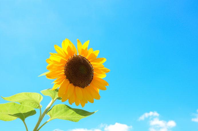 暑い夏に咲く、向日葵の花言葉も熱かった!?(tenki.jpサプリ 2018年08月 ...