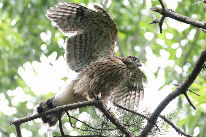 怠らで日増す鷹の羽音かな−俳句歳時記を楽しむ