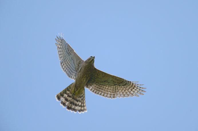 飛翔するオオタカ