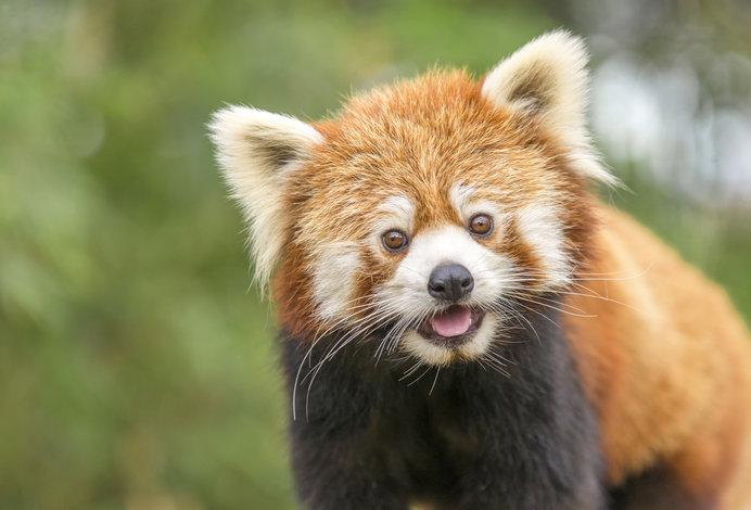 魔性の愛くるしさ!レッサーパンダこそ実は「元祖パンダ」なのです