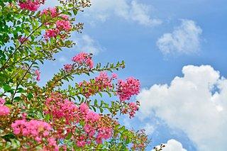 夏のシンボルツリー「サルスベリ」とはどんな花木?