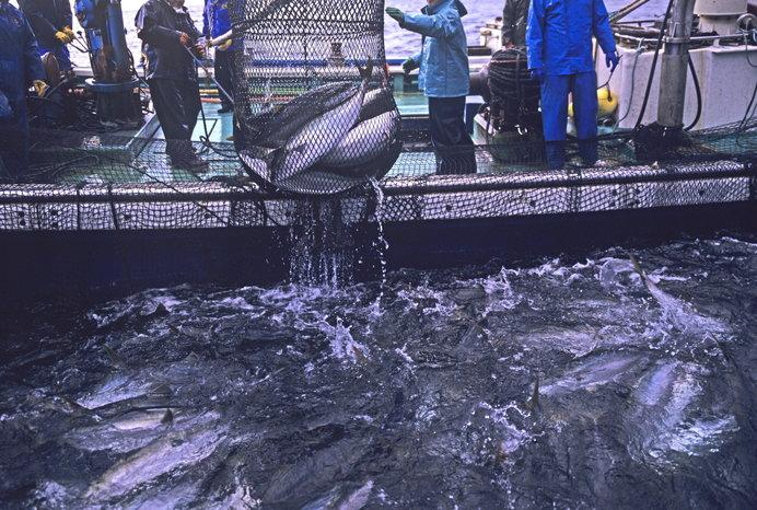 新潟県でのブリ漁のひとコマ