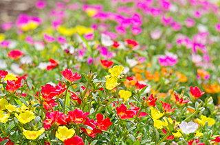 「マツバボタン」夏の暑さをものともせず咲き続ける元気の秘密は?
