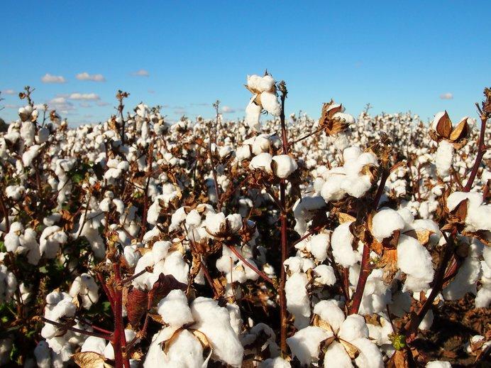 綿畑 オーストラリア