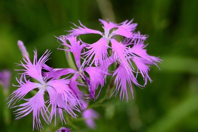 夏も店じまいのこの時期に楽しみとなる秋の花。「秋の七草」には隠された意味があった?