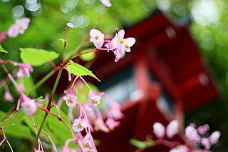 中庭や秋海棠の日に疎きー9月7日は鏡花忌