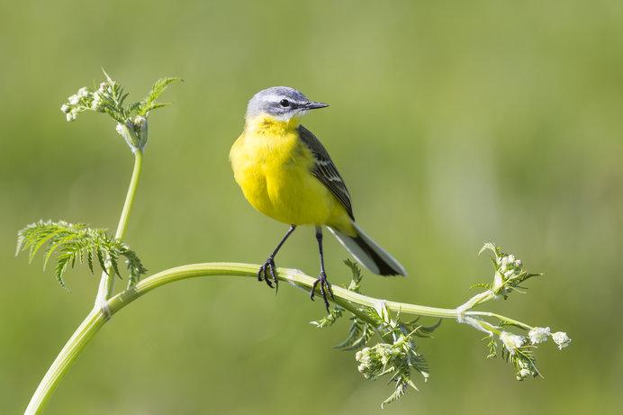 白露次候「鶺鴒鳴」秋が深まるなかに鳴くセキレイはどんな鳥 ...