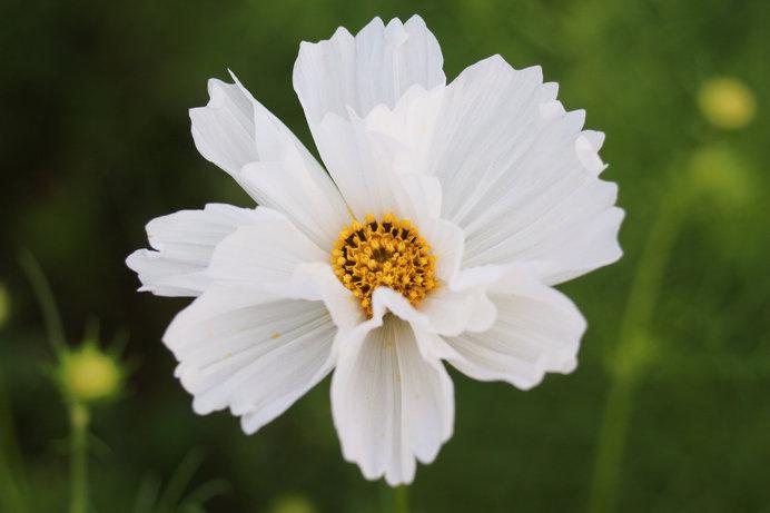 花弁が筒状になるタイプのコスモス シーシェル