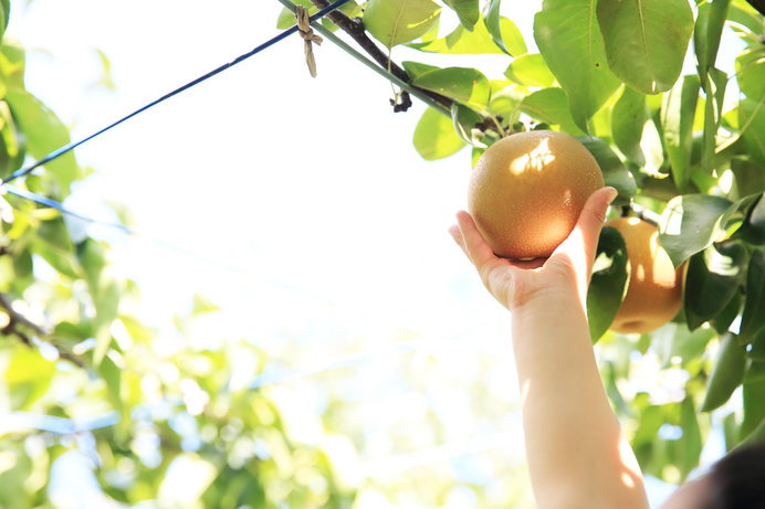 全国1位の梨の産地、千葉に行くなら梨狩りをしなくっちゃ!