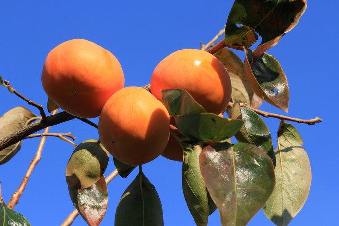 秋が深まるといよいよ柿のシーズン!