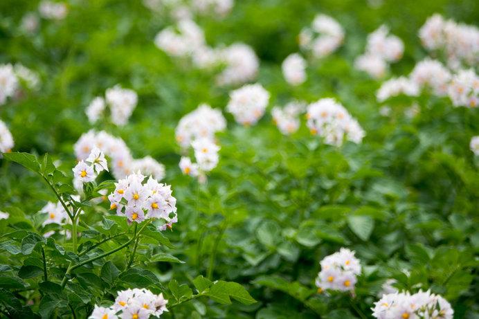 じゃがいもの花。かわいらしいですね