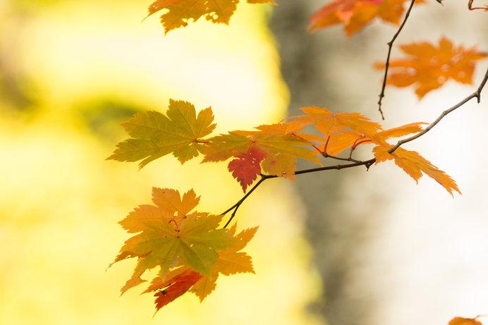 楓の薄紅葉