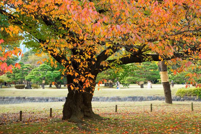 色づきとともに葉を散らす桜紅葉