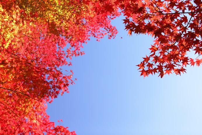 天切り拓く…鮮やかな紅葉
