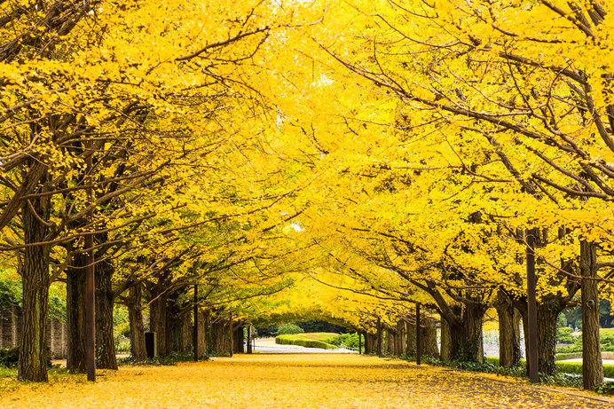 昭和記念公園(東京都 立川市・昭島市)の黄葉