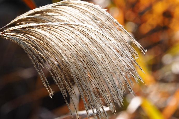 秋風にたなびく「荻(おぎ)」ススキとの違いをご存知ですか?