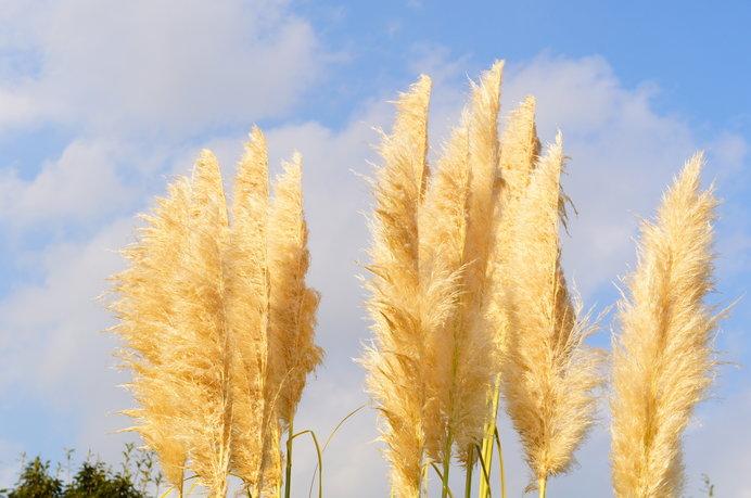 こちらはパンパスグラスというイネ科の植物