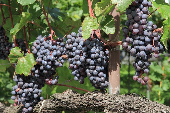 月の満ち欠けに基づいてぶどうを栽培する「ビオディナミ」とは?スピリチュアルな自然派ワインを味わおう