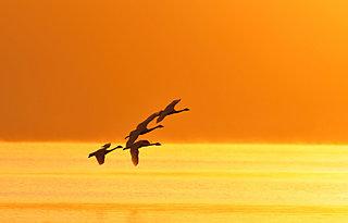 「知って得する季語」秋の風物詩「渡り鳥」とは、どんな鳥をいうの?