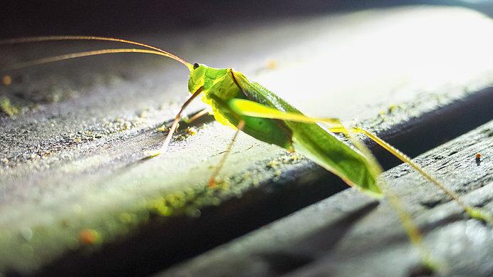 コオロギは貴方の声を聞いている!?七十二候「蟋蟀在戸(きりぎりすとにあり)」