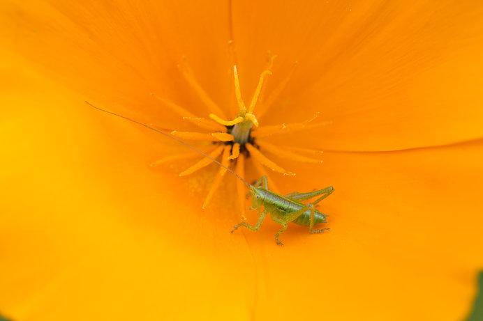 秋の鳴く虫のライバル・コオロギとキリギリス。そのちがいは?