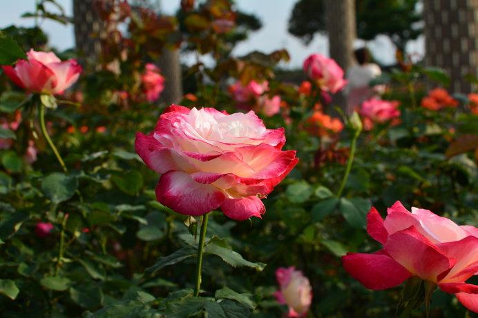 世界のバラ約250種1万本を観賞できる「荒牧バラ公園」