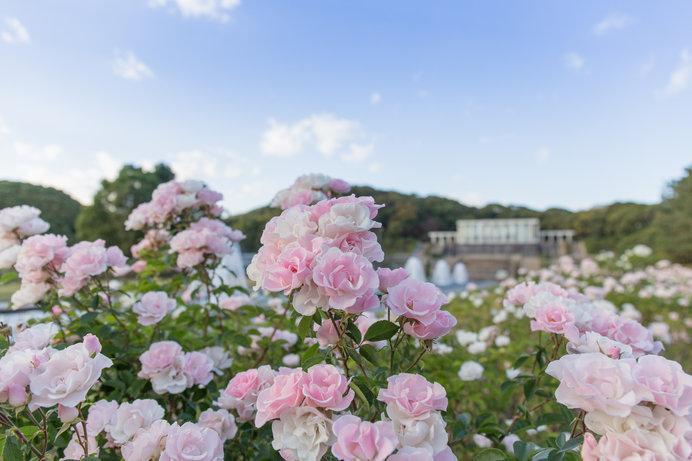優しいベビーピンクの花がブーケのように咲く「セレッソ」