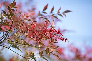 南天の実のゆんらりゆらりと鳥の立つー10月30日は紅葉忌