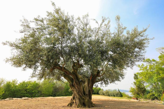 小豆島樹齢1000年のオリーブの木