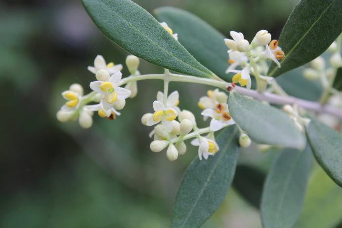 オリーブ(ルッカ)の花