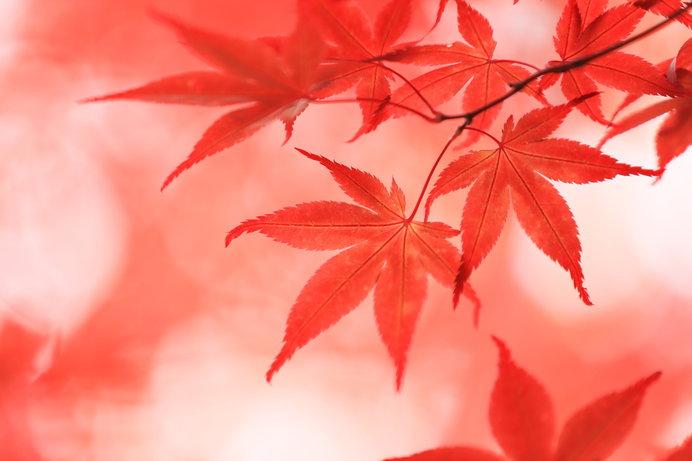 楓といえば紅。なぜ黄色…?