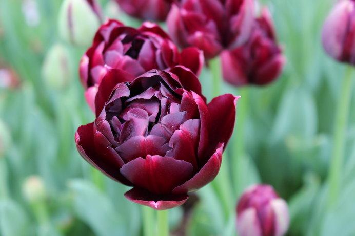 八重咲き チューリップ