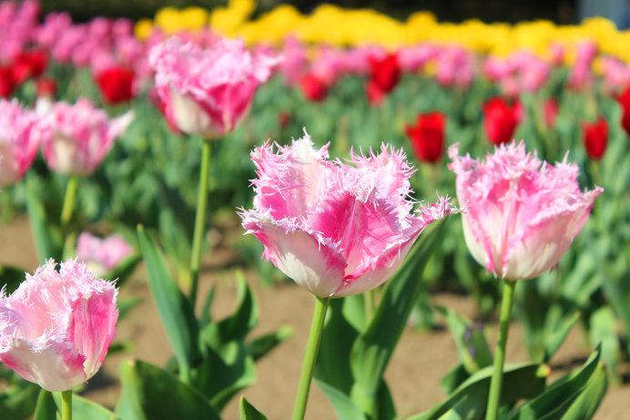 フリンジ咲き チューリップ