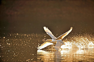 七十二候「朔風払葉(きたかぜはをはらう)」。北の使者・白鳥の到来シーズンとなりました