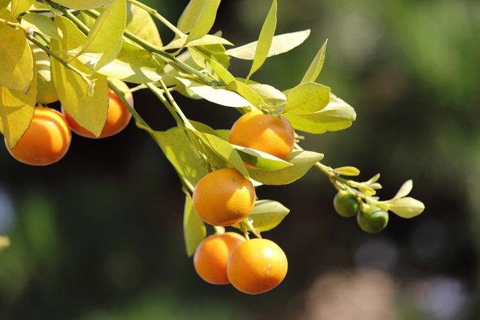 初冬も末、第六十候「橘始黄(た...