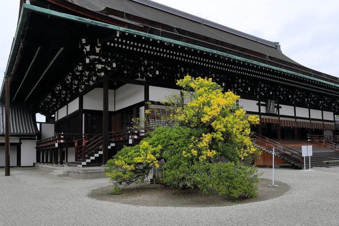 京都御所 紫宸殿と右近の橘