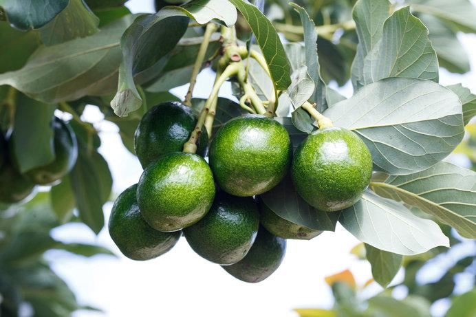 アボカドの木になる実のことを「アボカド」と呼ぶ