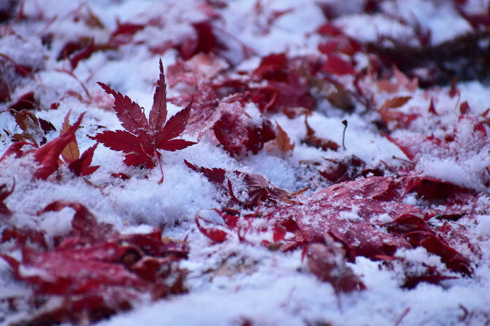 冷たい淀みにタナゴの魚影映えて。二十四節気「大雪(たいせつ)」