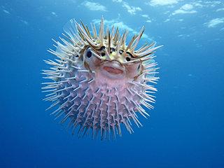 マンボウ、ハリセンボン、ウツボ…食べられるってご存じでしたか⁉︎〜七十二候「鱖魚群」〜