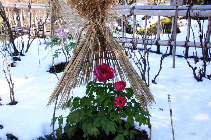 雪をバックに咲く美しい寒牡丹