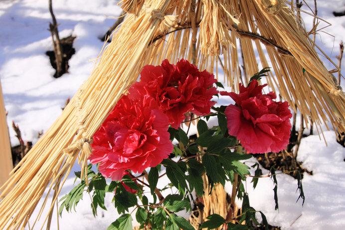 雪中の牡丹さん(写真はイメージです)