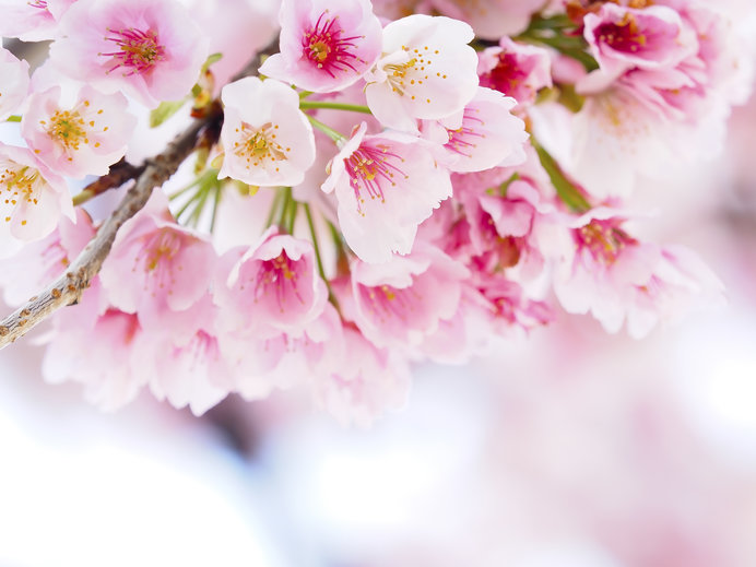 """京都府、奈良県の""""無料""""で楽しめる""""桜の名所""""情報!"""