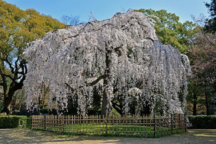 見事に咲く「京都御所」の出水の枝垂れ桜