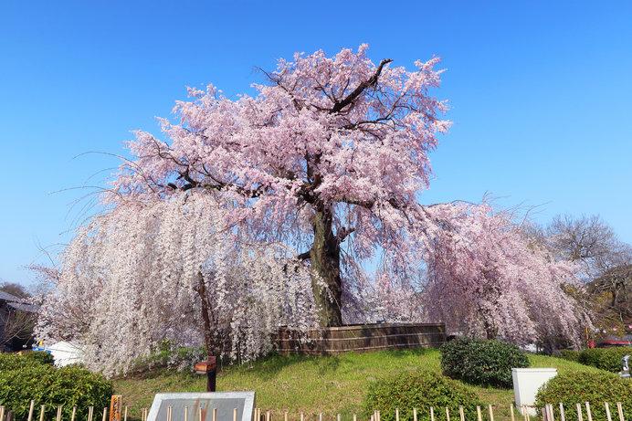 祇園の夜桜として有名な「円山公園」の枝垂れ桜