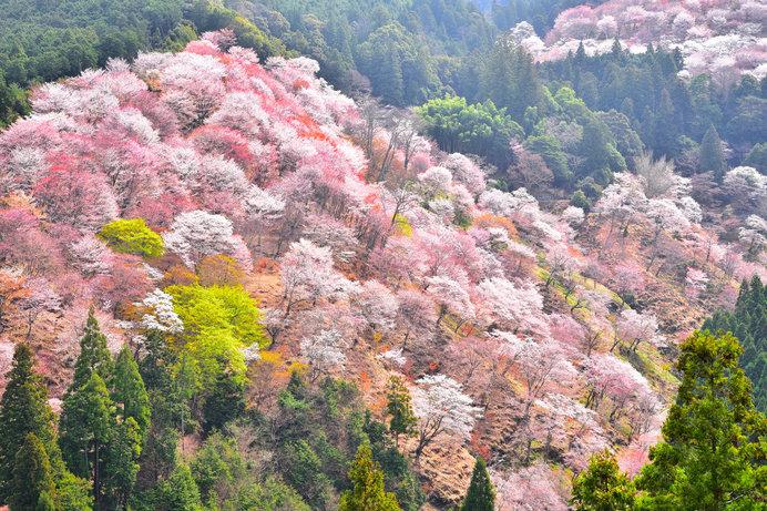 世界遺産の「吉野山」の桜